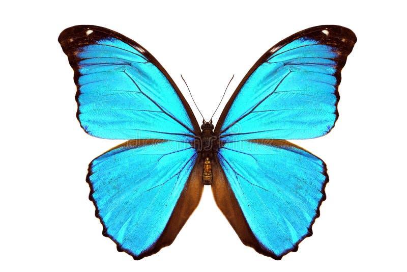Morpho azul imagens de stock