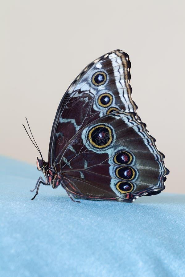 Morpho azul de la mariposa que se sienta en un paño azul del terciopelo, en un backgound beige primer Foto macra fotografía de archivo