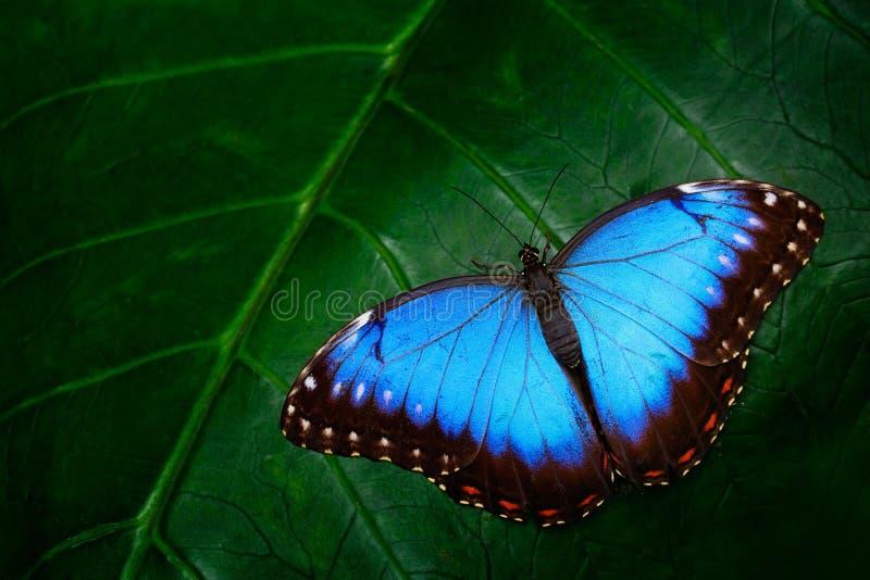 Morpho azul, peleides de Morpho, mariposa grande que se sienta en las hojas verdes, insecto hermoso en el hábitat de la naturalez imagenes de archivo