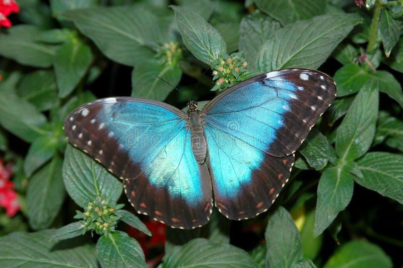 Morpho Blau (morpho peleides) auf Blatt 2 lizenzfreies stockfoto