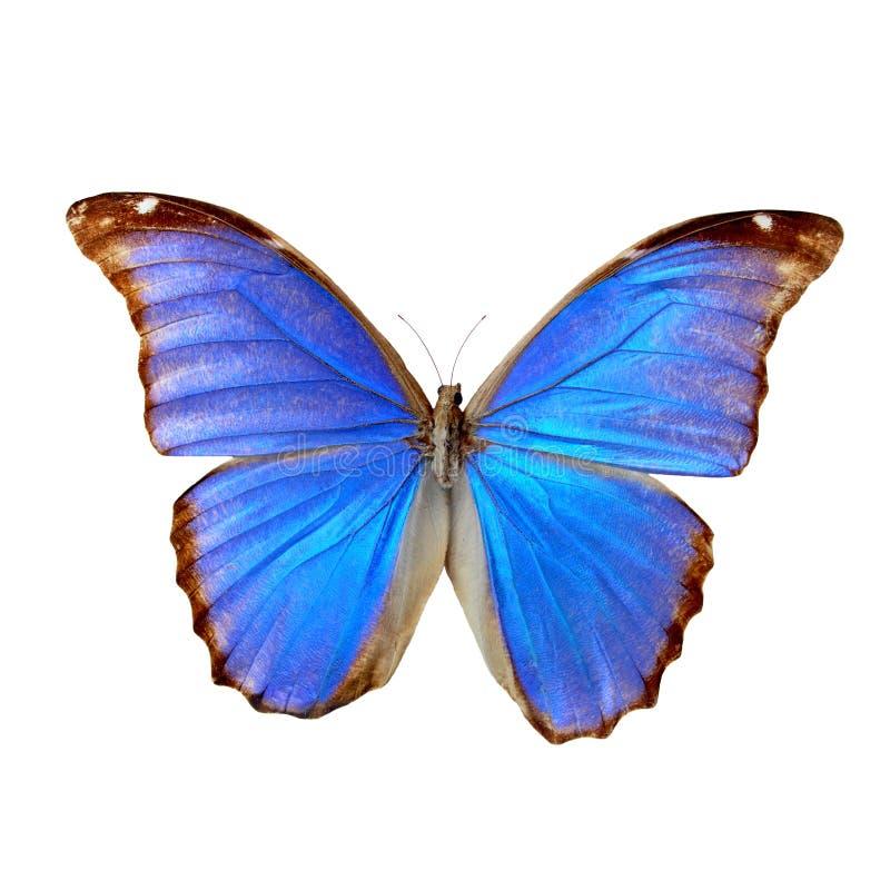 Morpho bleu image libre de droits