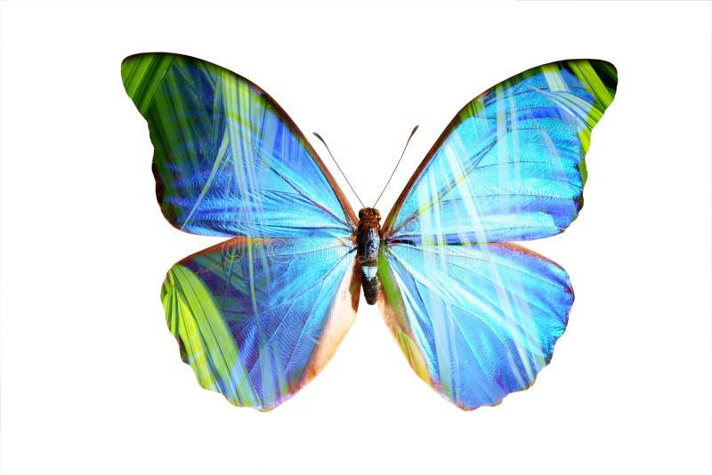 Morpho bleu illustration de vecteur