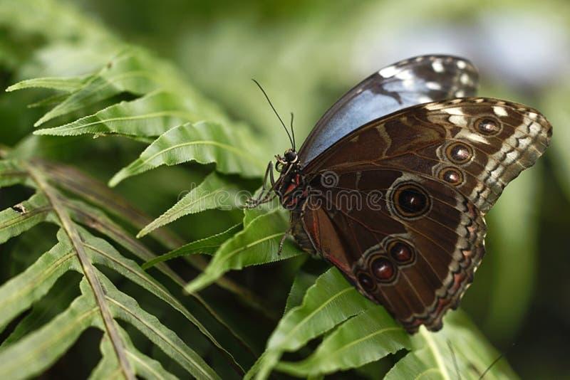 Morpho blu della bella farfalla che si siede sul fiore contro il fondo verde in un giardino di estate, bello insetto nella natura fotografie stock libere da diritti