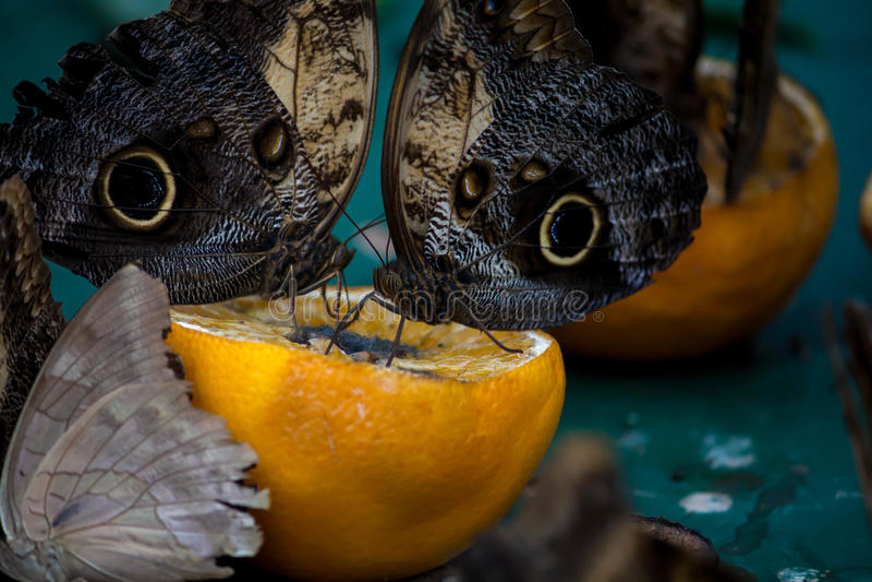 Morpho blu gigante che mangia un'arancia fotografia stock libera da diritti