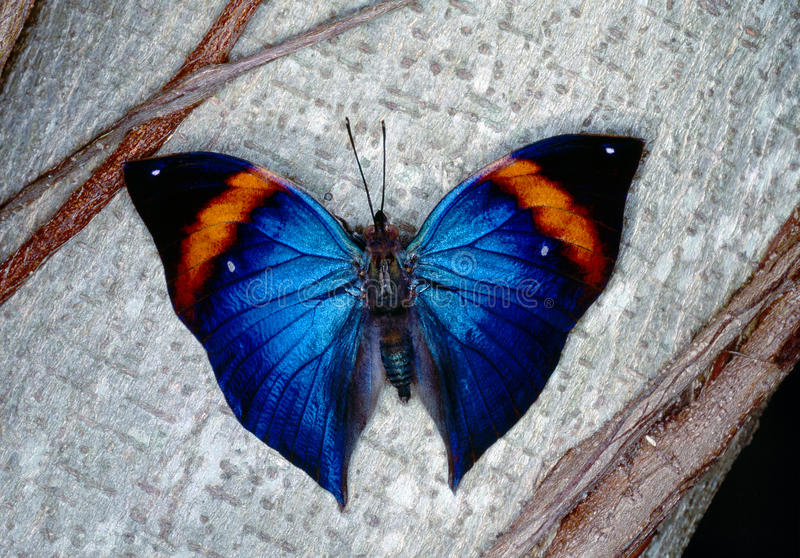 Download Morpho butterfly stock photo. Image of morphidae, blue - 12425822