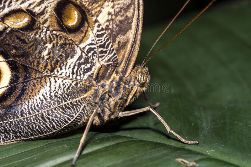 Download Morpho butterfly stock photo. Image of butterfly, america - 35919644