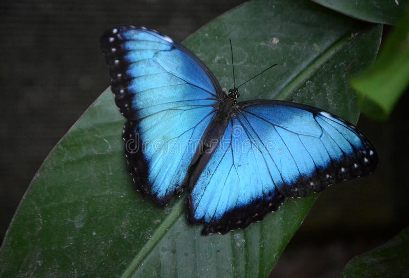 Morpho Butterfly royalty free stock photo