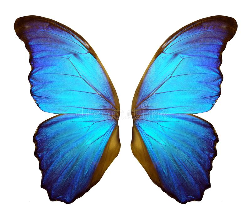 Morpho butterfly wings isolated on a white background. vector illustration