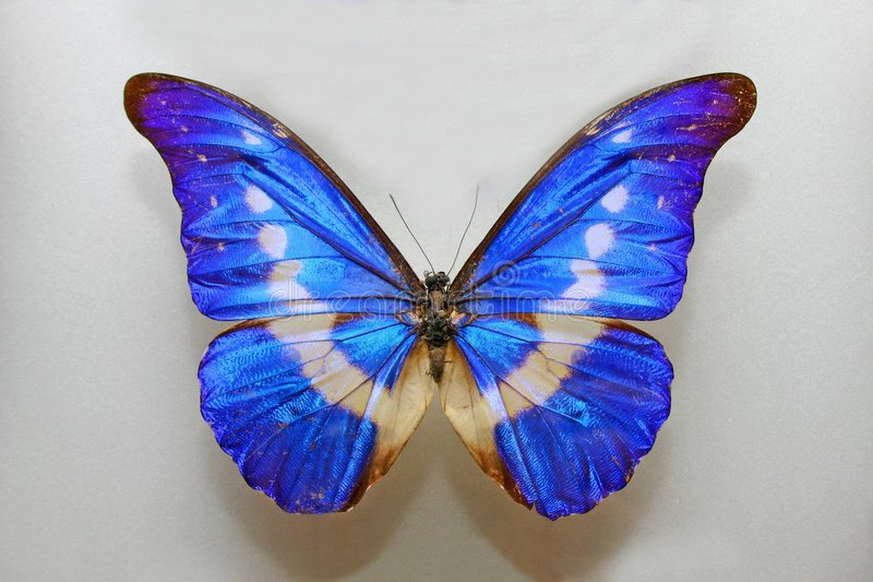 Morpho Helena Butterfly stock images