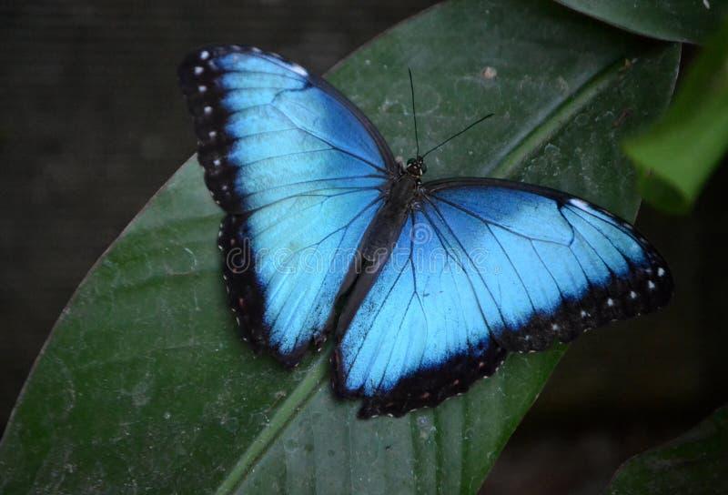 Morpho motyl zdjęcie royalty free
