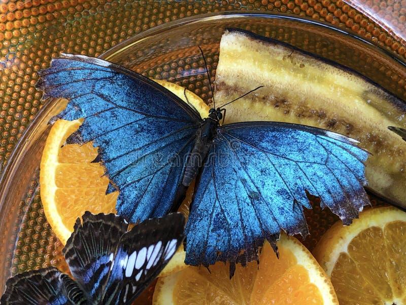 Morpho Peleides голубое, общее morpho, император или peleides Morpho остров Mainau цветка бабочки на озере Констанция стоковое фото rf