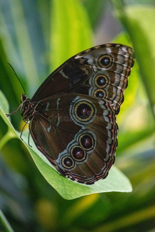 Morpho peleides, blauwe morpho van Peleides, gemeenschappelijke morpho of de keizer zijn een iriserende tropische die vlinder in  royalty-vrije stock fotografie