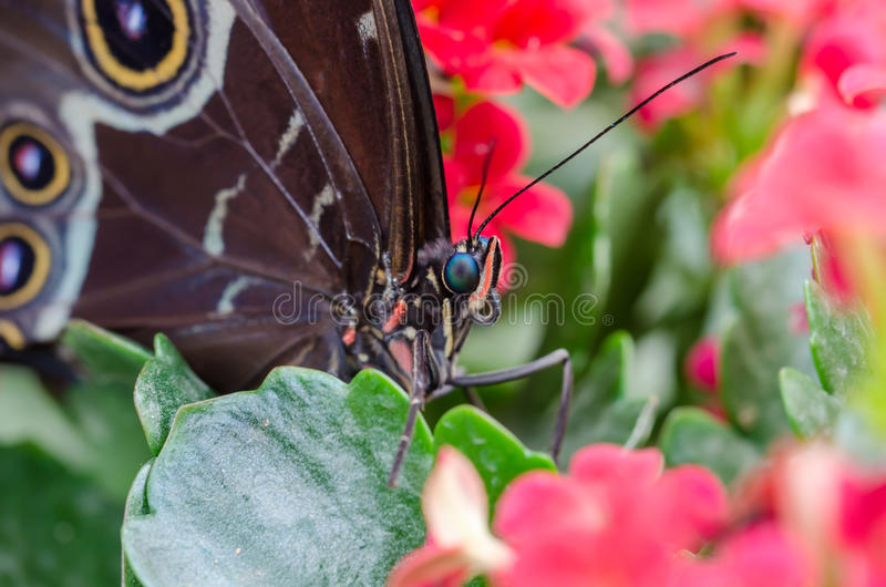 Morpho Peleides royalty free stock photography