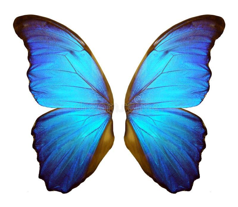 Morpho-Schmetterlingsflügel lokalisiert auf einem weißen Hintergrund lizenzfreies stockfoto