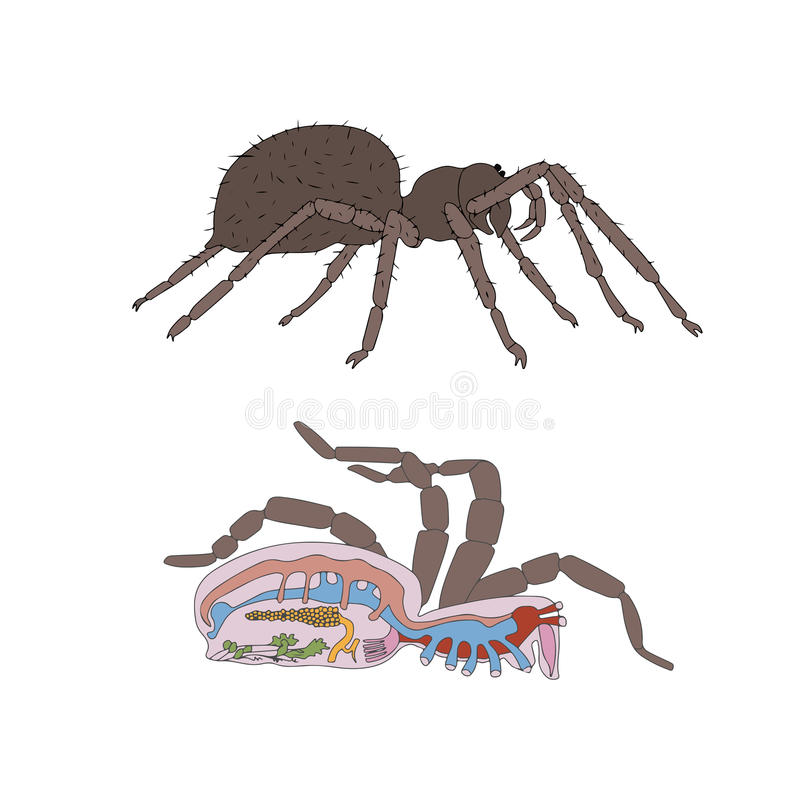 Morphologie, Querschnitt der Spinne lizenzfreie abbildung