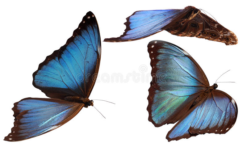 Morphos azuis fotos de stock