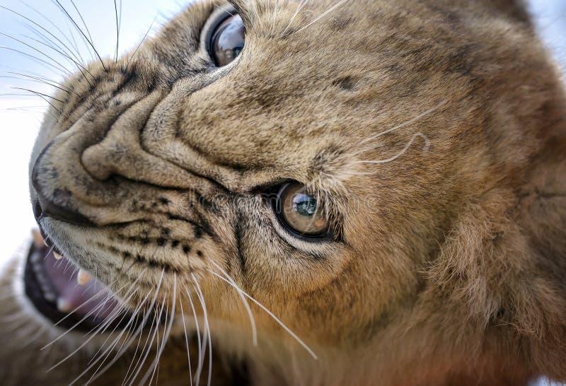 Morrande - Lion Cub fotografering för bildbyråer