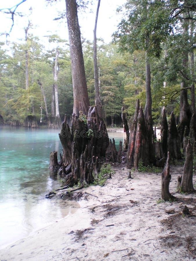Morrisons jaillit les racines de flottement clair comme de l'eau de roche préhistoriques naturelles d'arbre images libres de droits