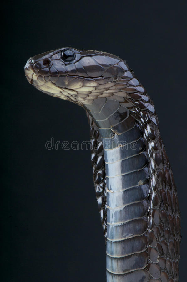 Morrocan kobra, Naja legionis/ fotografia royalty free
