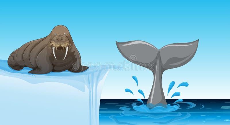 Mors na lodowym floe ilustracji