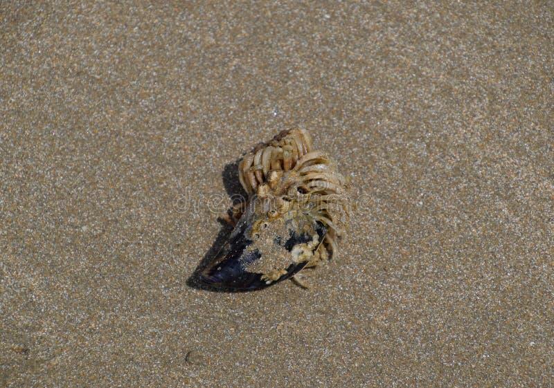 Morscy polipy anemia na skorupie skorupa zdjęcia stock