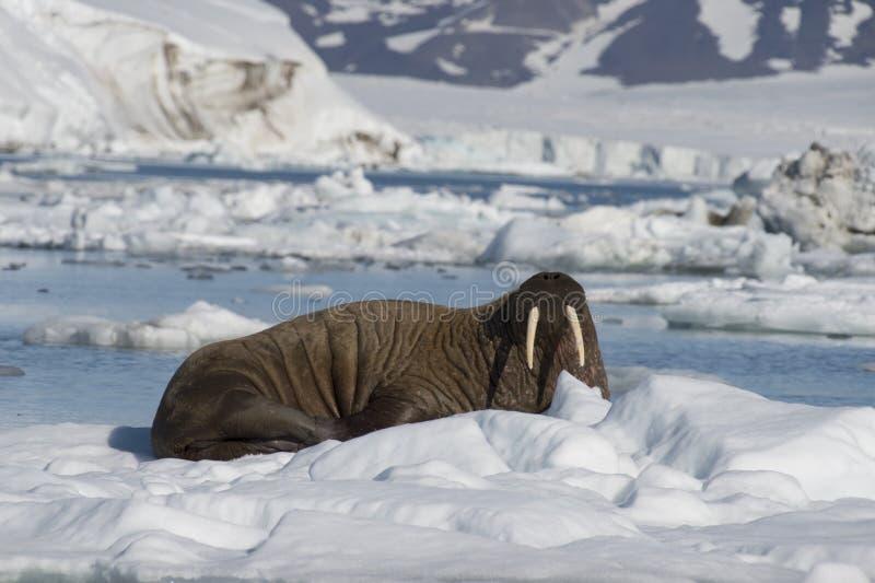 Morse sur l'écoulement de glace photo stock