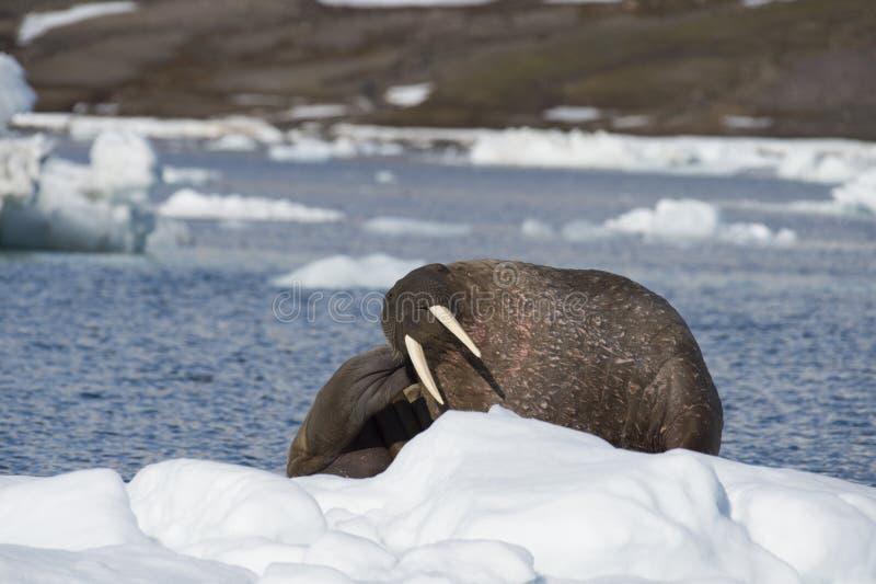 Morse sur l'écoulement de glace image libre de droits