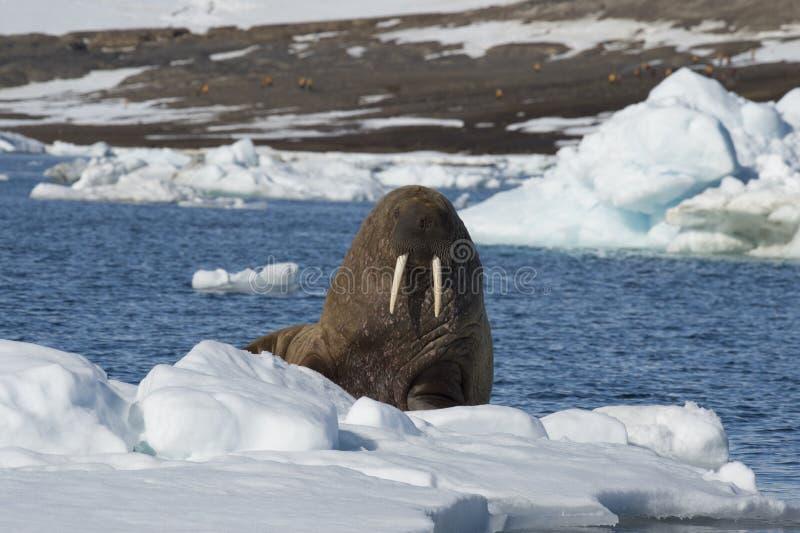 Morse sur l'écoulement de glace photographie stock libre de droits