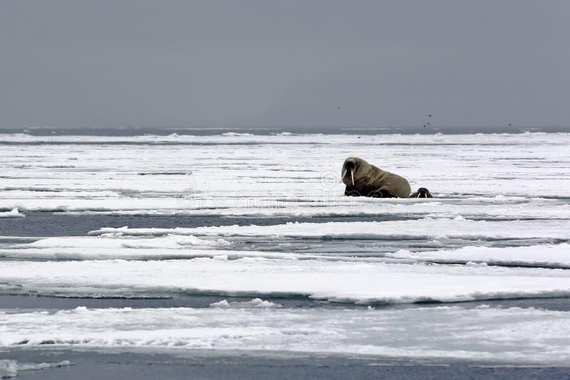 Morse sur la glace photographie stock libre de droits