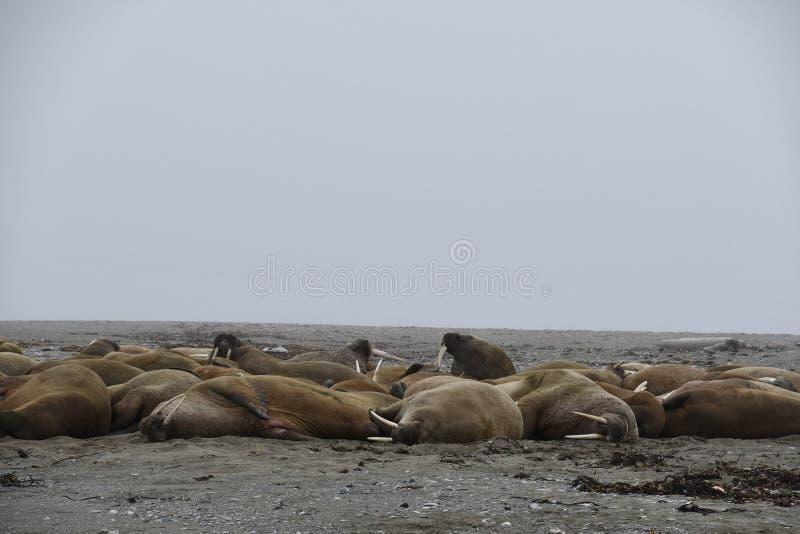 Morses le Svalbard - en Norvège, Pôle Nord photos stock
