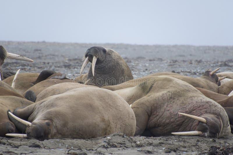 Morses le Svalbard - en Norvège, Pôle Nord photographie stock libre de droits