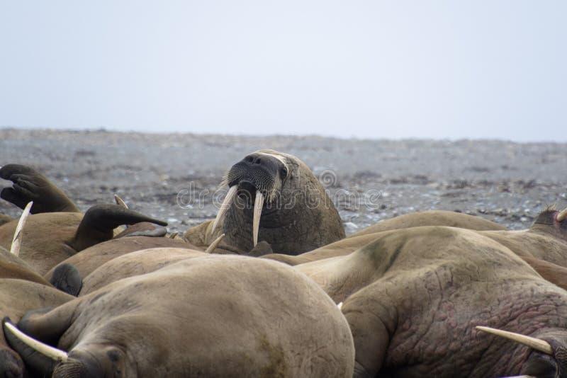 Morses le Svalbard - en Norvège, Pôle Nord image libre de droits