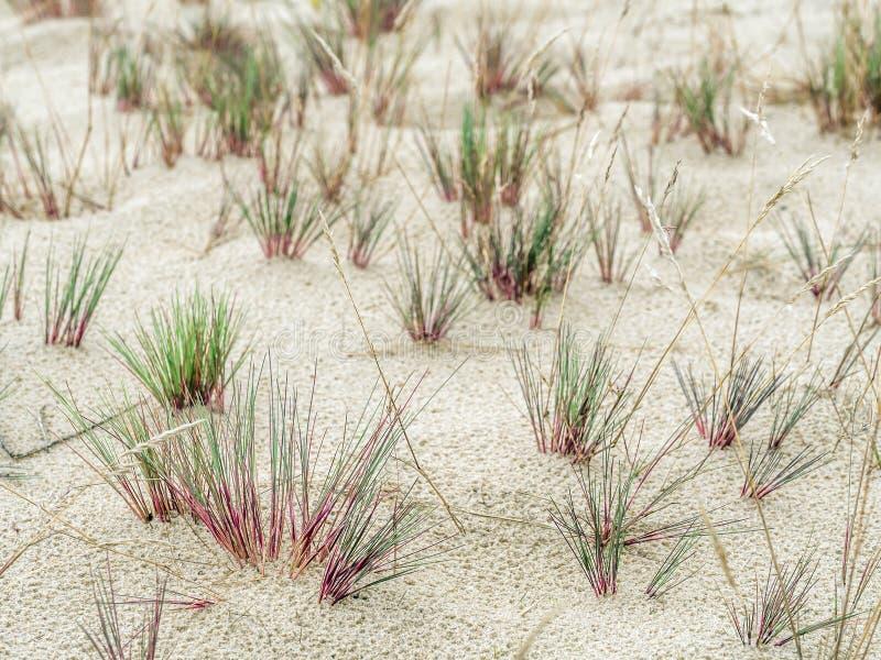 Morsetti dell'erba della duna - parco nazionale di Slowinski, Polonia fotografie stock