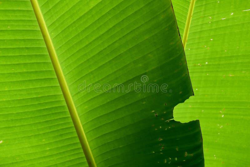 Download Morsi Di Insetto Verdi Della Foglia Della Banana Della Natura Per Fondo Immagine Stock - Immagine di foresta, colore: 56879813