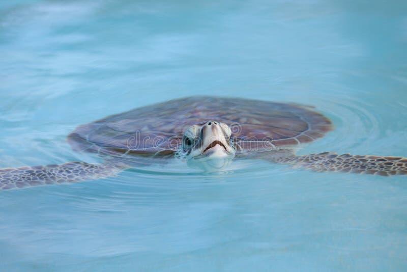 Morski Żółwia Dopłynięcie W Cayo Largo Wodzie Fotografia Royalty Free