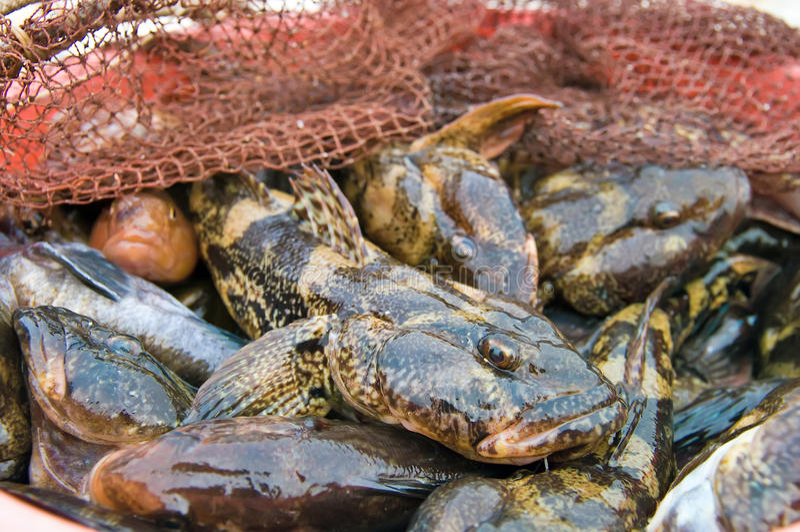 Morski goby dennego połowu trofeum zdjęcie stock