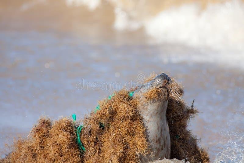 Morski zanieczyszczenie Pieczętuje złapany kołtuniastego w nylonowej plastikowej sieci rybackiej odrzucającej przy morzem zdjęcia stock