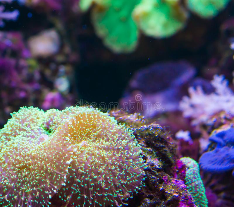 Morskiego życia tło gigantyczny morze karaibskie anemon na skale obrazy stock