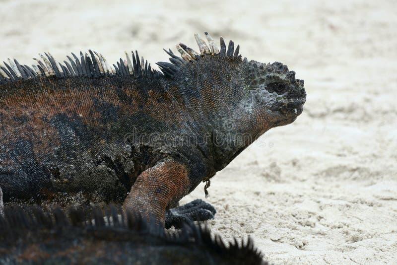 Morskiej iguany plaża zdjęcie stock