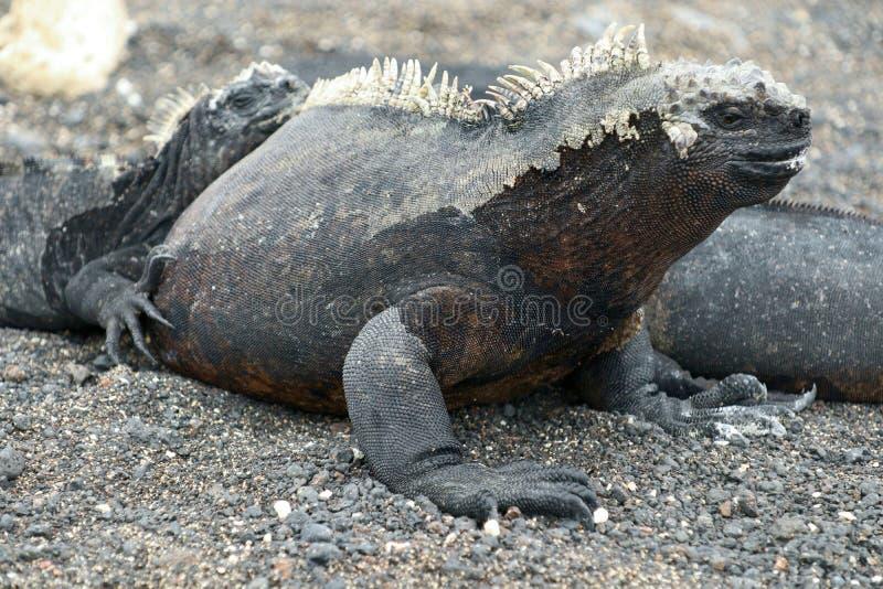 Morskiej iguany zakończenie obrazy stock