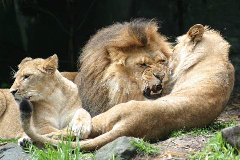 Morso del leone fotografia stock