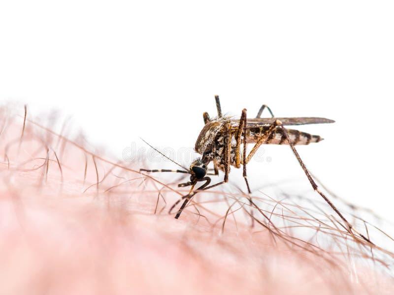 Morso infettato virus di zanzara di Zika o di malaria isolato su bianco fotografia stock libera da diritti