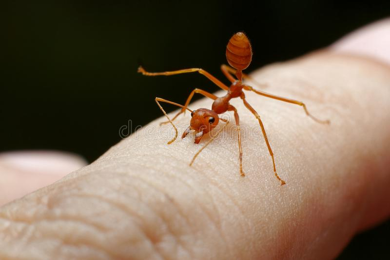 Morso rosso della formica fotografia stock