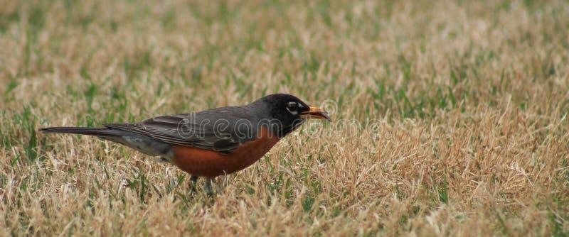 Morsure de bout de Robin images libres de droits