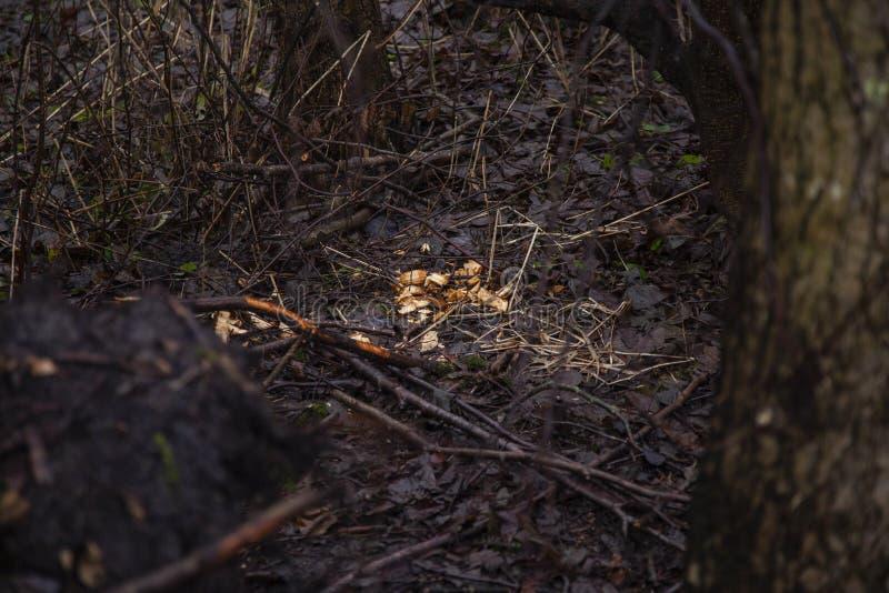 Morsures évidentes de castor sur l'arbre photographie stock