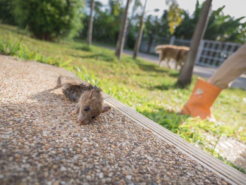 Morsures de chien le rat à la mort images libres de droits