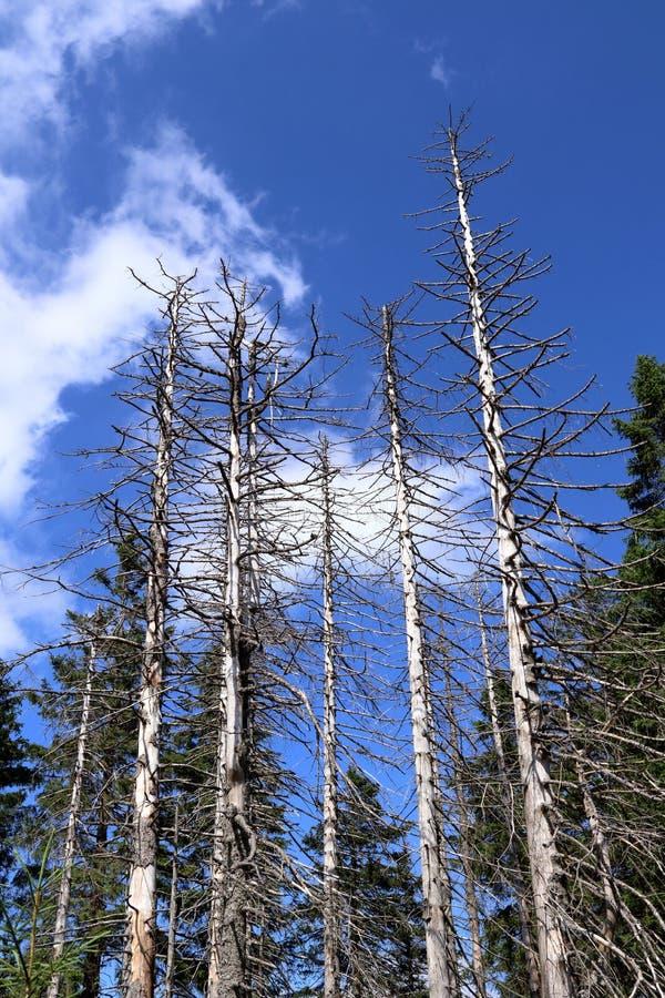 Mortalité d'arbre Arbres impeccables dans une forêt en Allemagne, endommagée par des scarabées d'écorce images libres de droits