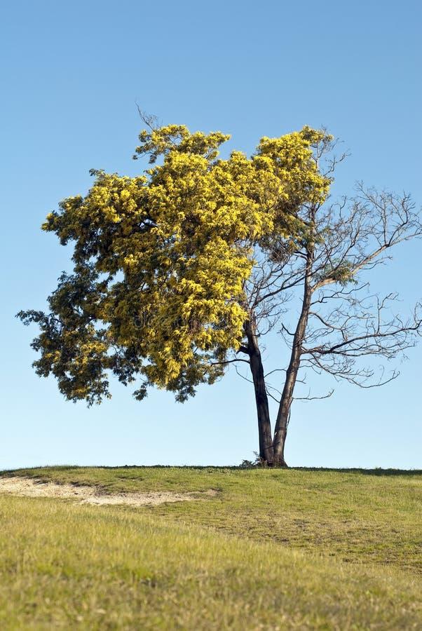 Morte dell'albero dell'acacia immagini stock libere da diritti