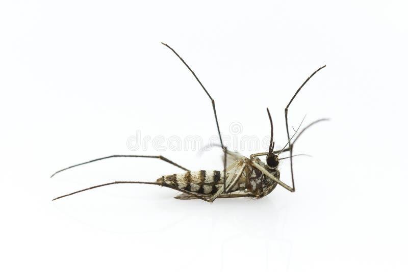 Morte della zanzara immagini stock libere da diritti
