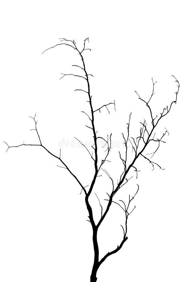 Morts de branche d'arbre d'isolement sur le fond blanc photo stock